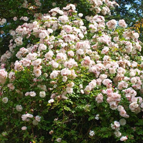 Stor overdådig lyserød rose. Rose som klatrer i træer