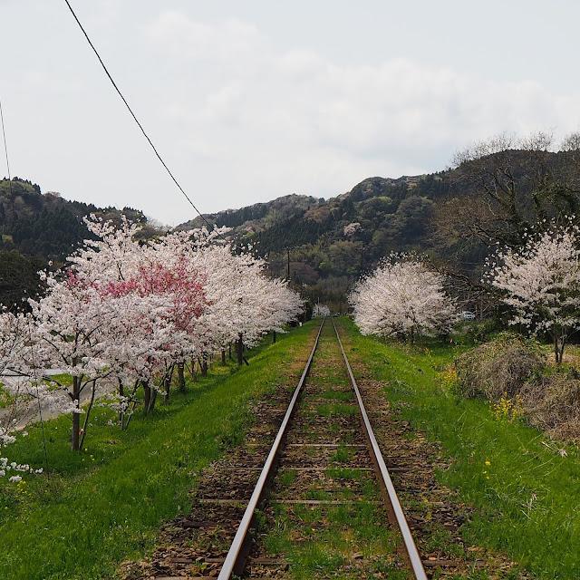いすみ鉄道 桜