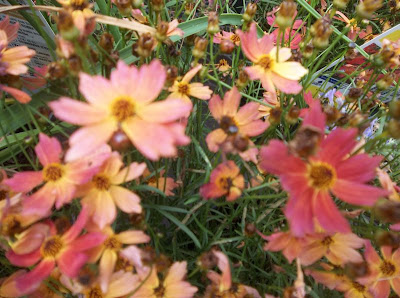 coreopsis flower images