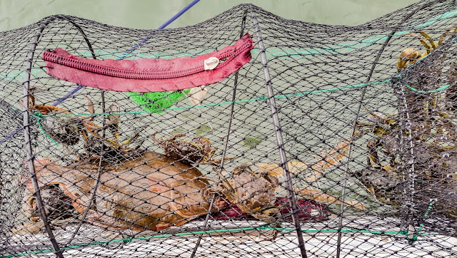 Photo of a flatfish, crabs and shrimps in our crab net