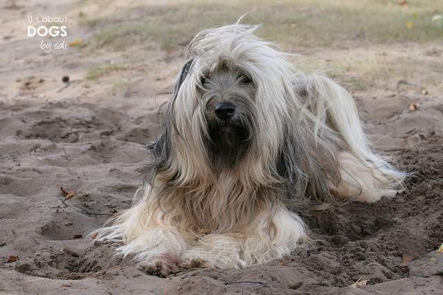 Tibet Terrier Chiru liegt im Sand