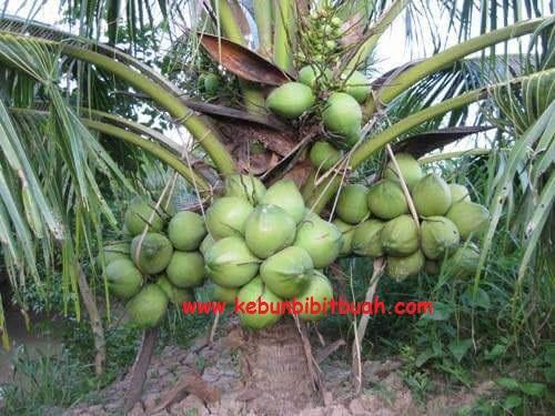 kelapa genjah entog pohon rendah sudah berbuah