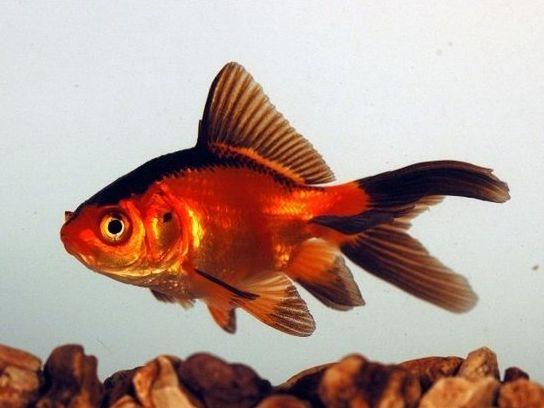 Jenis Ikan Komet Merah Hitam - Komet Red Black