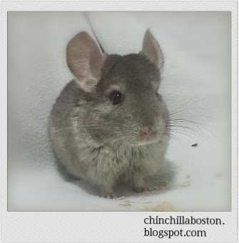 Please visit our chinchilla photo gallery