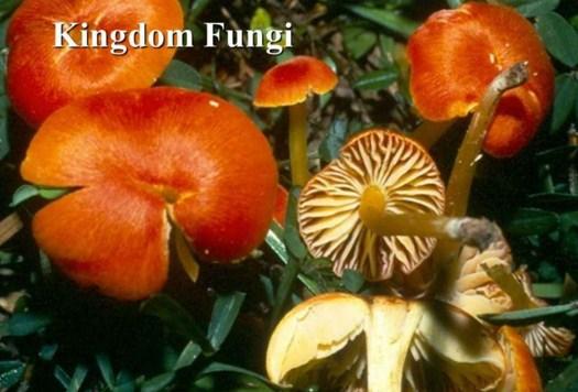 Kingdom Fungi, Cara Hidup, Habitat, Reproduksi dan Klasifikasi Fungi