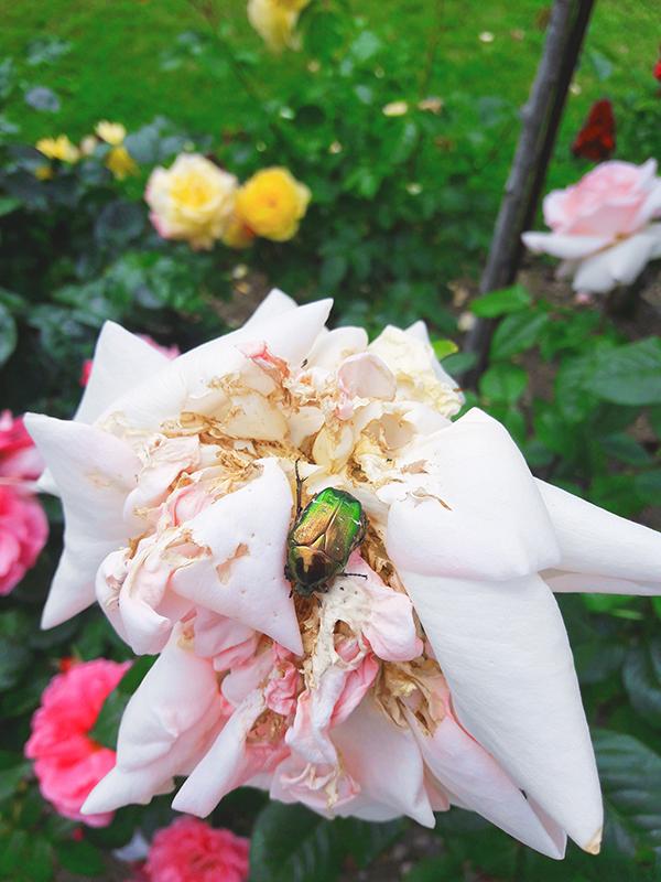 scarabé rose