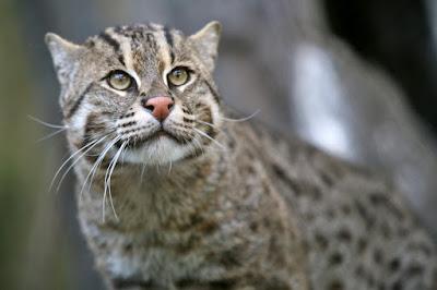 kucing batu asli indonesia