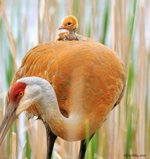 Baby Animals: Crane Chick