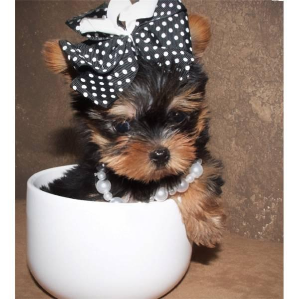 Puppy World: Teacup Yorkie Puppy Pictures