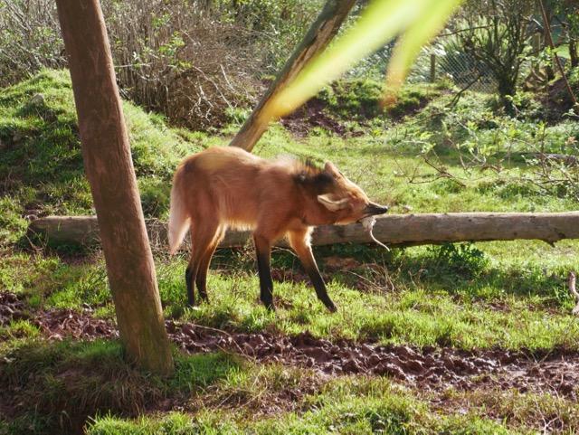 South Lakes Safari Zoo maned wolf