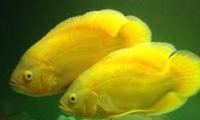 Cara Memedakan Ikan Oscar Jantan Dan Betina