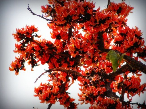 A Blog of Scenic Nature - Beautiful Creations of God ... Palash Flower Wallpaper