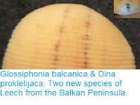 http://sciencythoughts.blogspot.co.uk/2016/08/glossiphonia-balcanica-dina.html