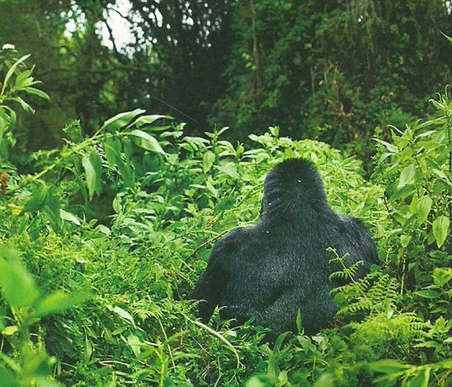 https://bio-orbis.blogspot.com.br/2014/01/gorilas-no-rastro-dos-gigantes.html