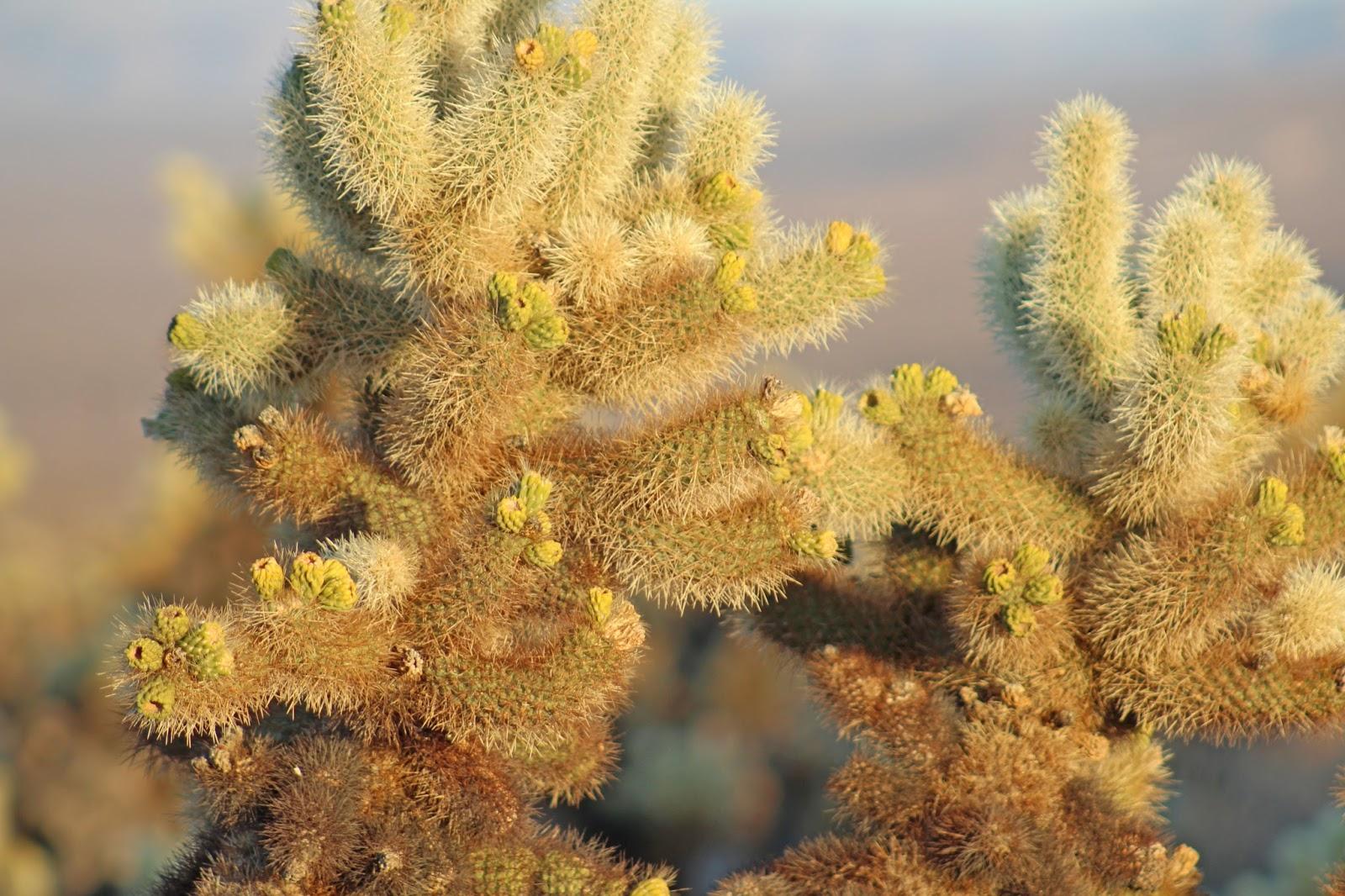 cholla cactus garden sunset 7
