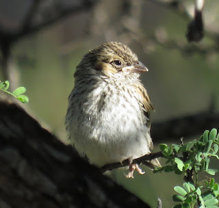 Rufous-winged Sparrow fledgling
