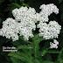 Dương kỳ thảo (Achillea millefolium) ,ACH00151 - Màu Trắng
