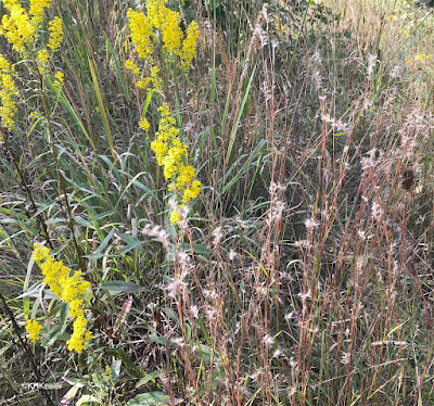 goldenrod and little bluestem, central Michigan