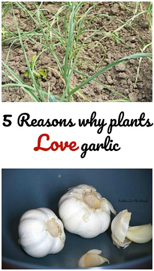 garlic for use in gardens