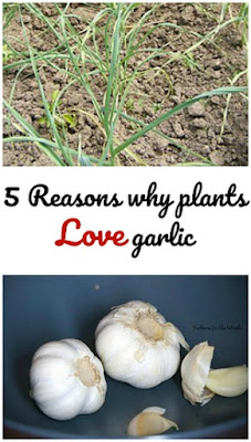garlic for use in gardens