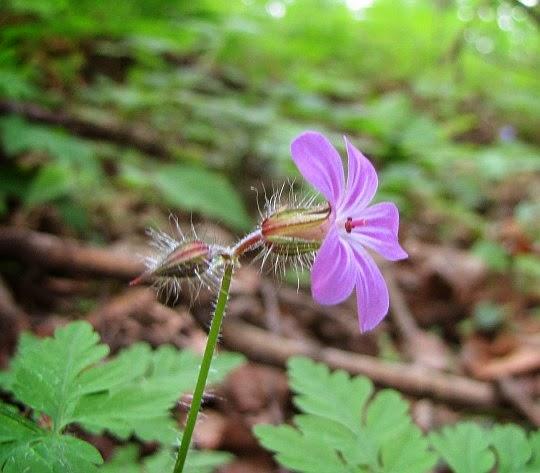 Bodziszek cuchnący (Geranium robertianum L.).