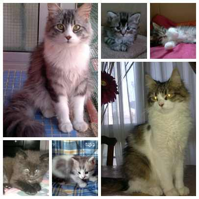 gatos-bosque-noruega-caracteristicas