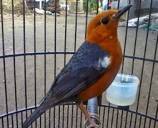 cara merawat burung,perbedan anis merah jantan dan betina dewasa,ciri melihat perbedaan,