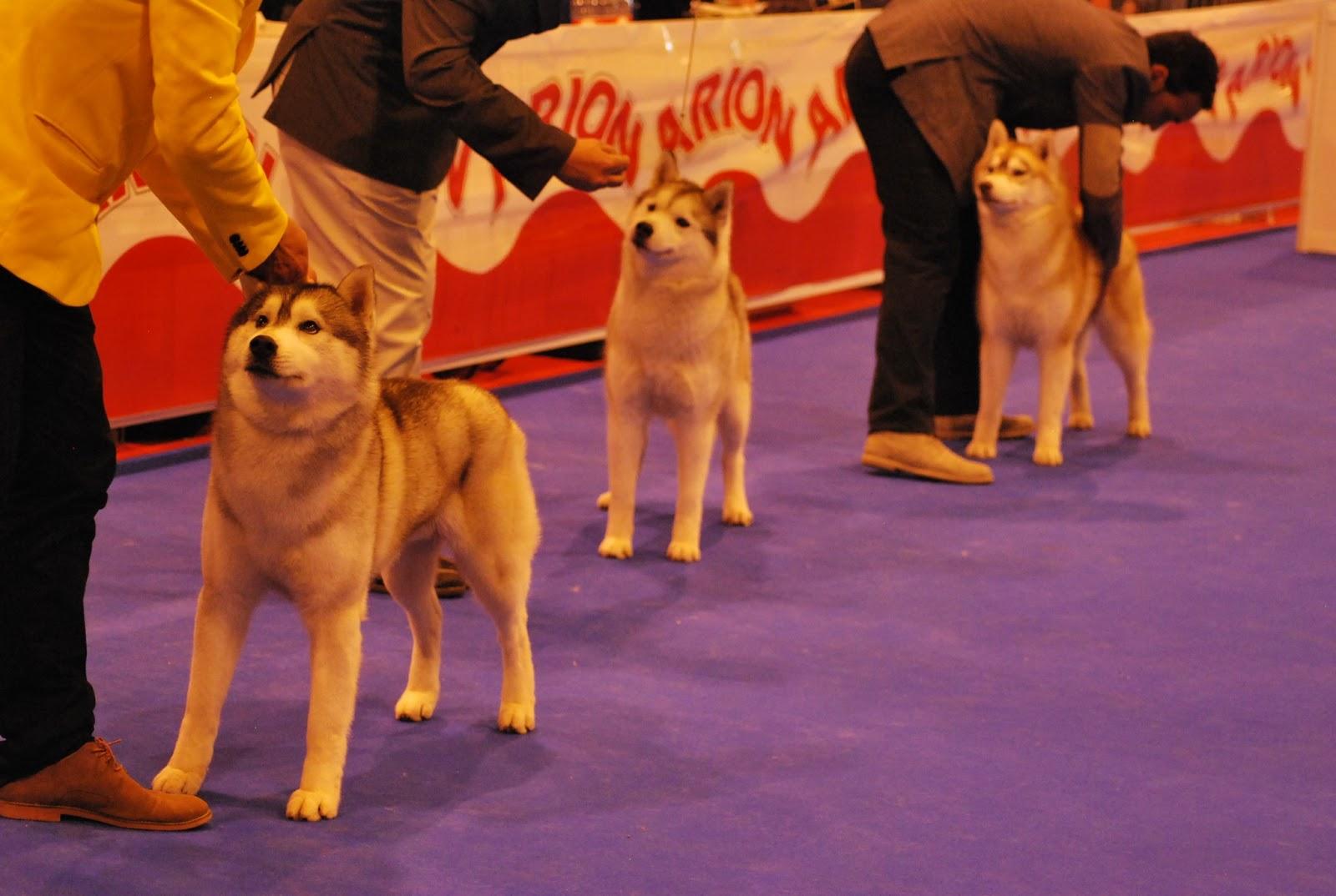 Mejor de Raza Husky Siberiano Exposicion Canina Madrid Ifema 2013