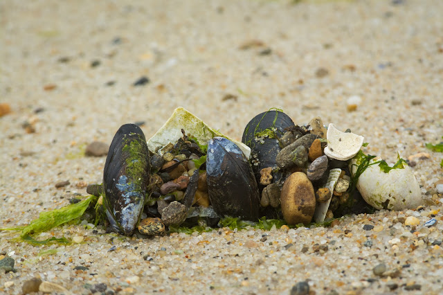 Mussel Shells, Monomoy National Wildlife Refuge
