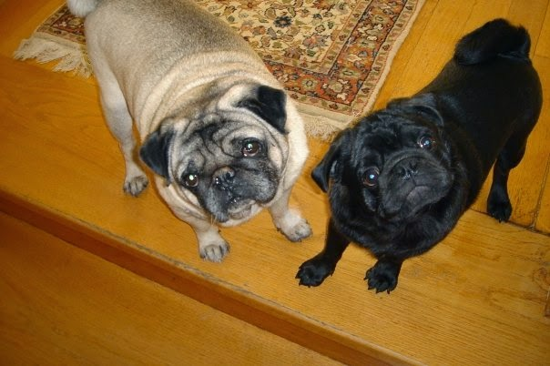 Maurice & Hugo,the pug dogs