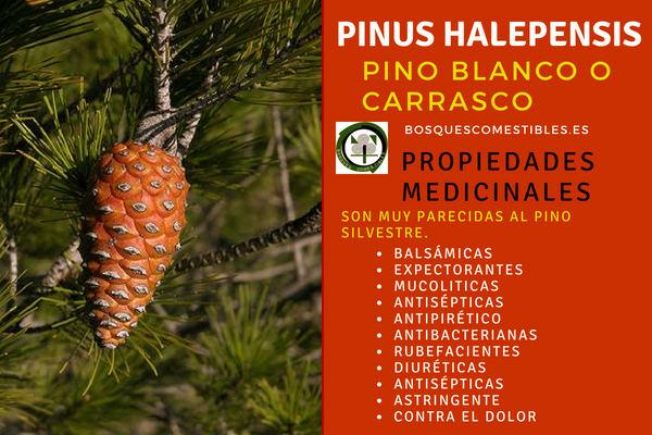 Pino Blanco o Pino Carrasco, Pinus halepensis, tiene Propiedades muy parecidas al Pino Silvestre.