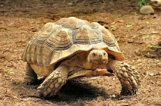 انواع السلاحف