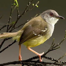 Beberapa Perawatan Penting Untuk Mencegah Burung Ciblek Macet Bunyi