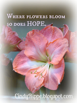 Reblooming Amaryllis, Summer care for Amaryllis, Where Flowers Bloom so there is Hope quote by Ladybird Johnson, Hope Bible Verse fromRomans 15:13, Florals-Family-Faith, Cindy Rippe