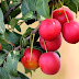 Manfaat Buah Plum Merah Untuk Diet Sehat
