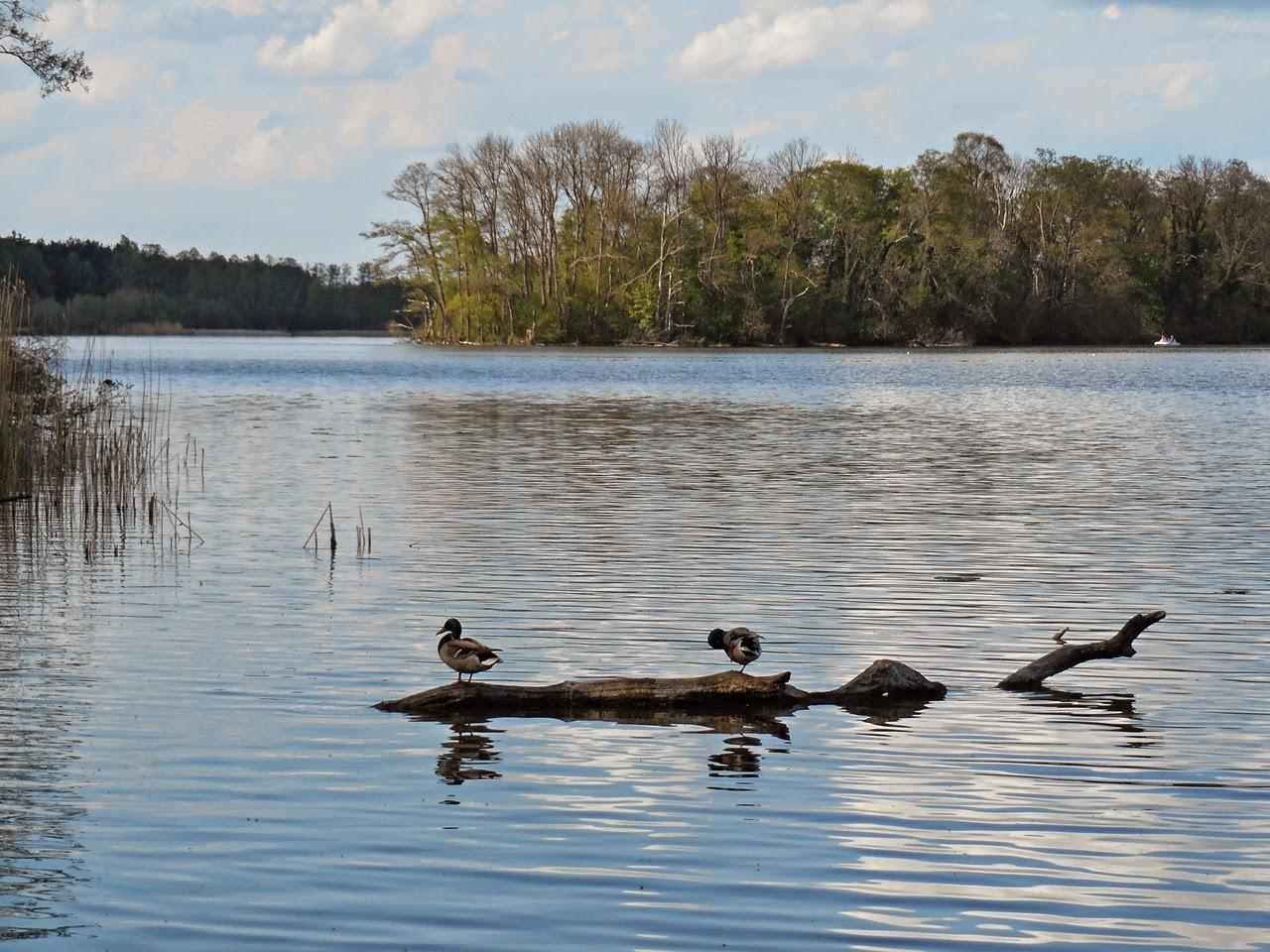kaczki krzyżówki, wyspa ptasia, woda, trzcina, przyrodnicze obserwacje