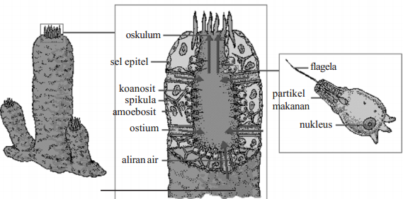 Pengertian Porifera
