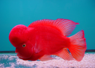 """""""ikan louhan Super Red Synspillum"""""""