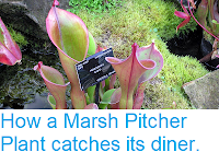 https://sciencythoughts.blogspot.com/2013/01/how-marsh-pitcher-plant-catches-its.html