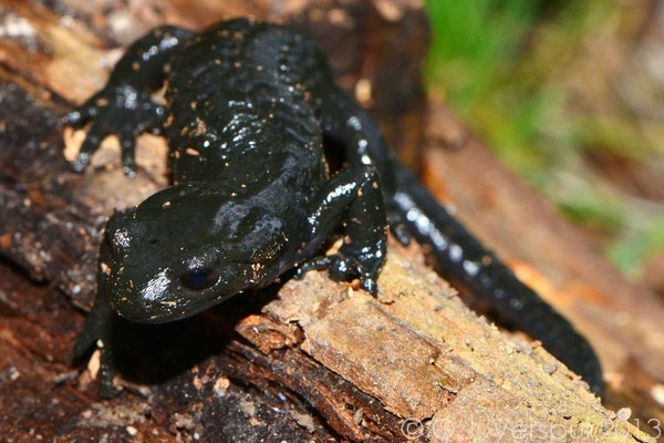 Amphibians: Alpine Salamander, Salamandra atra 2