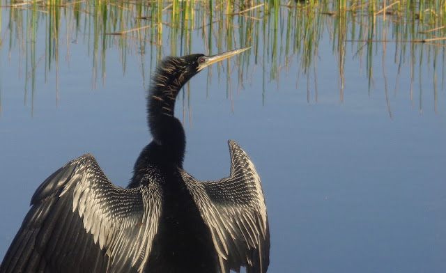 Anhinga at Chapel Trail Nature Preserve in Pembroke Pines