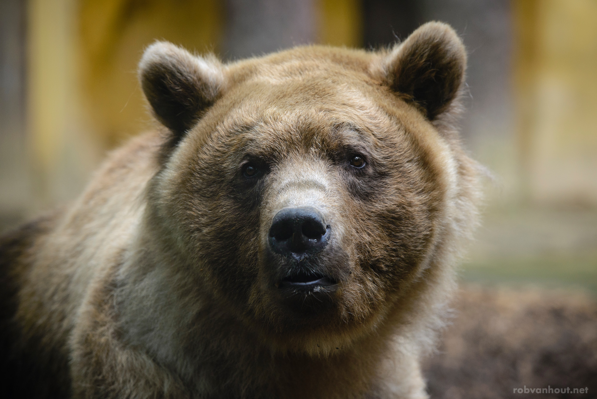 Brown Bear — Amersfoort Zoo