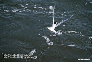 水面近くを飛ぶコアジサシの写真