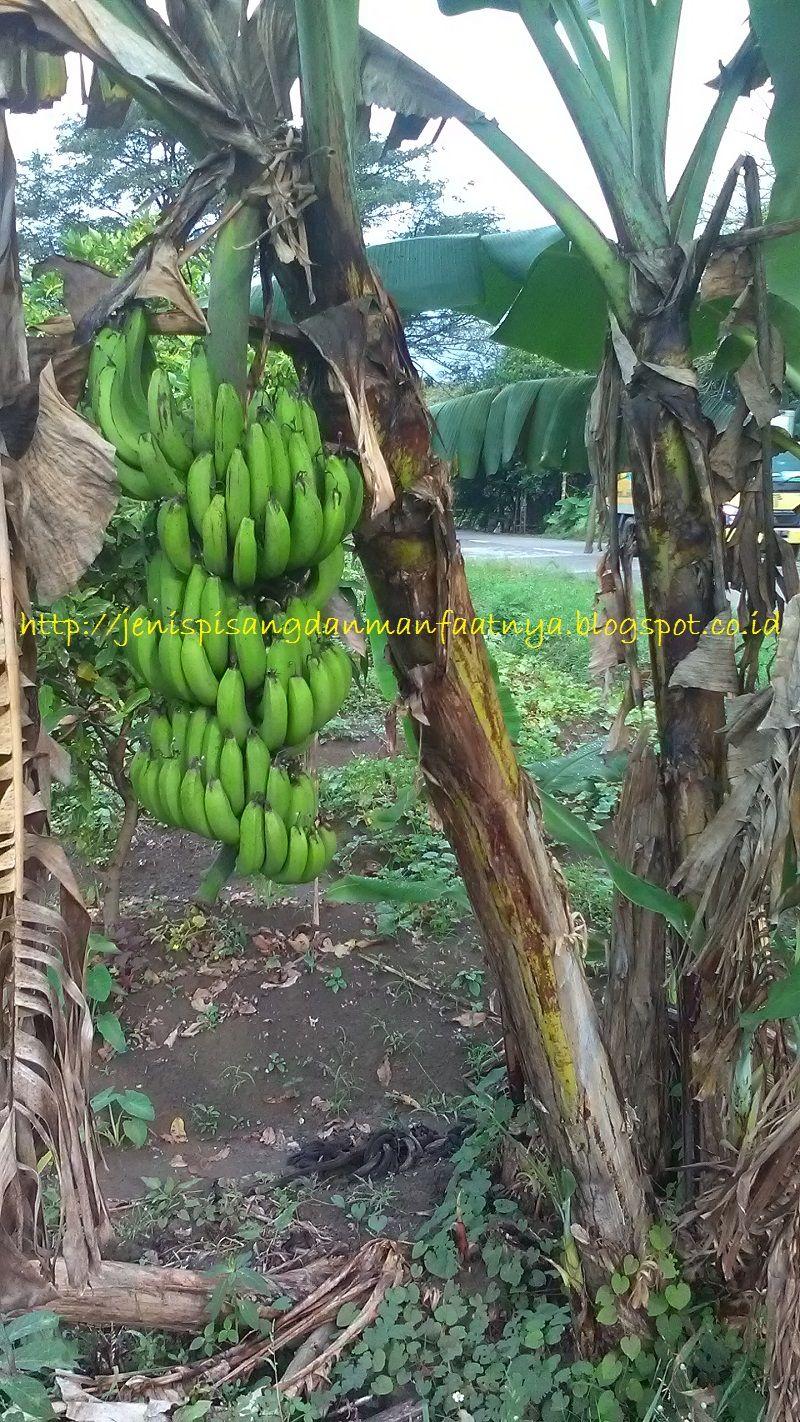 Gambar Pisang Pendek Berbuah-Buah pisang raja ijo selendang