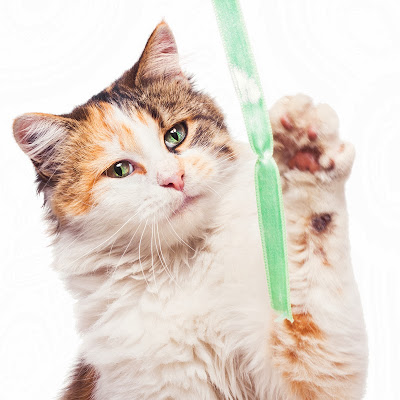 A white calico cat playing with a ribbon against a white background