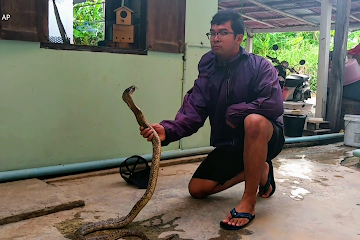Snake catcher's smooth moves control deadly wild cobra in Thailand