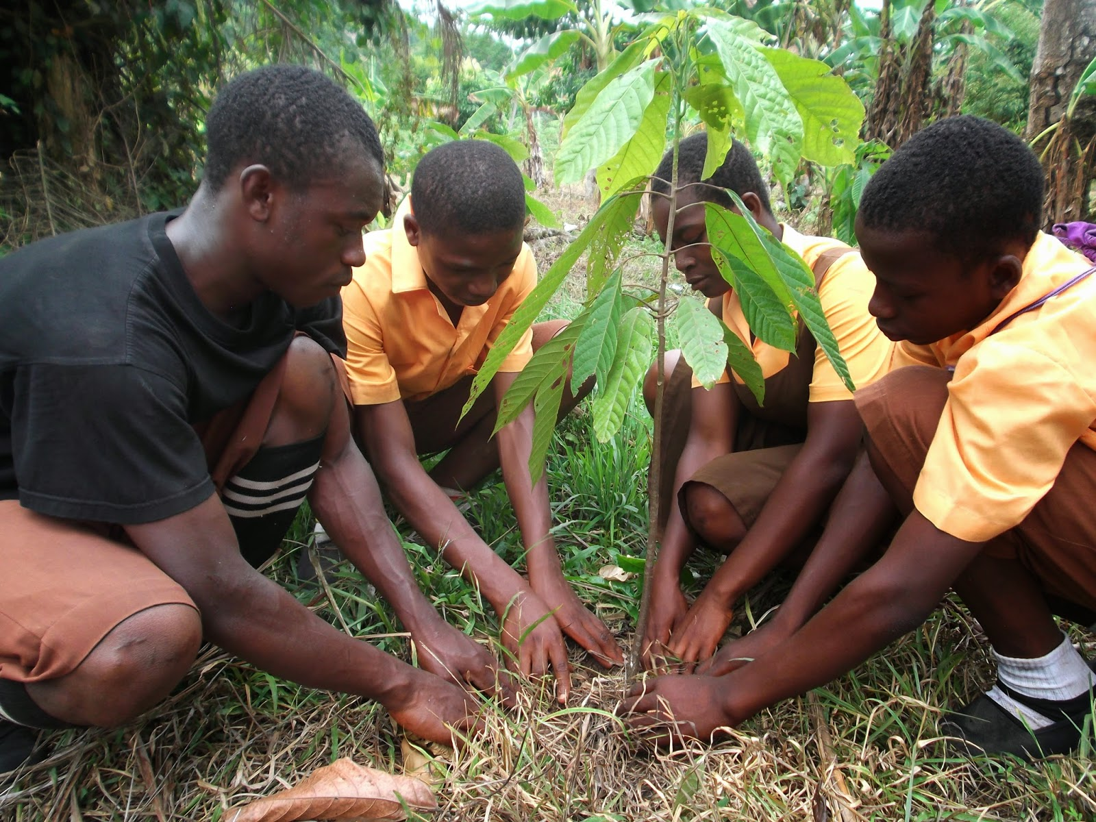 4-H Million Trees Project- Ghana: Planting Cocoa Trees for ...
