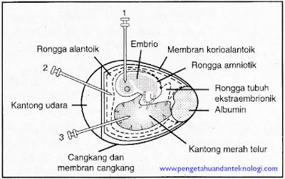 Diagram Irisan Telur Ayam Berembrio