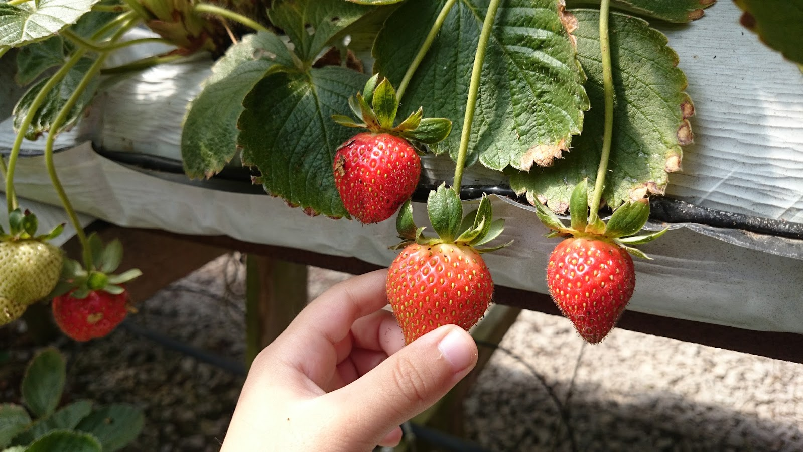 Kebun Buah Strawberry Cameron Highlands