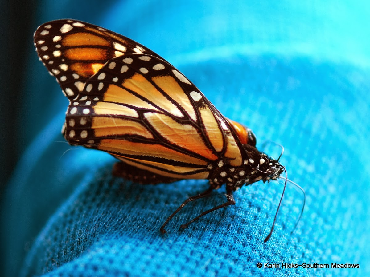 Monarch with crinkled (deformed) wings